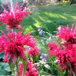 Lukijan kuva: Vielä on kesässä jäljellä kukkaloistoa