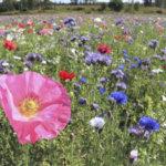 Kuusi hehtaaria kukkaketoa kaikkien iloksi – Saikan maisemakukkapelto virkistää Lempäälän maisemakuvaa ensi kesänä