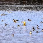 Vesilinnut pääosassa marraslaskennoissa – Narvassa 1 000 isokoskeloa, Lempäälässä 47 uiveloa