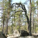Vakkalan noitapuut paransivat vaivoja ja Lemmenjumalan honka auttoi rakastavaisia – Ikivanhat männyt uhmaavat aikaa ja myrskytuulia