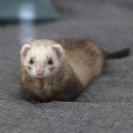 Effie-fretti on herkkäsieluinen vipeltäjä – Jos silmä välttää, saattaa Effie sujahtaa vaikka lahkeeseen