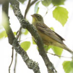 Peltosirkkua, vuoden 2020 lintua, etsimään – toukokuun kahlaajajuhlaa Ahtialanjärvellä