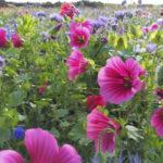 Pörriäisille suristettavaa – Lempäälän kunnalle ensi kesäksi kaksi yksivuotista ja kuusi monivuotista niittykukka-aluetta