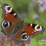 Kesän pikku vieraista löytyy yllättäviäkin puolia – Kesä on täynnä elämää myös hyönteismaailmassa