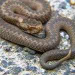 Omakotitalon kuistin alle asettunut kyykäärme puri naista Lempäälässä – Moni on tänä kesänä nähnyt käärmeitä. Suhtautuminen matelijan kohtaamiseen vaihtelee