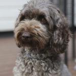 Leppoisa seuraduudeli – Nuppu-koiran erikoinen rotu on kehitetty terveys, ei ulkonäkö, edellä