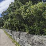 Kurtturuusut poistetaan Lempäälän kirkkohautausmaan kiviaidalta – tilalle istutetaan toinen koristepensas