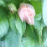Lukijan kuva: Ruusu kuin pastellimaalauksessa