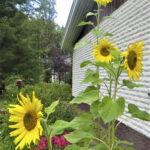 Lukijan kuva: Auringonkukat