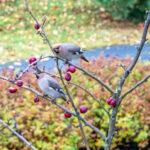 Lukijan kuva: Tilhet etsivät ruokaa talven kylmyyttä vastaan