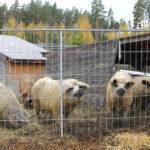 Kaakilan karvasikaa syödään pian Tampereen kattojen yllä – Vesilahden ainoa sikatilallinen Jarkko Pakaslahti kasvattaa mangalitzoja eli villasikoja