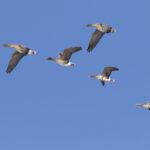 Valtava hanhimuutto Lempäälässä ja Vesilahdessa – Lokakuu on otollista aikaa myös lintuharvinaisuuksien näkemiselle