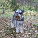 Börjestä tuli vahingossa somepersoona – Mietteliäs ja harkitseva koira tietää, mitä tahtoo ja mitä ei tahdo