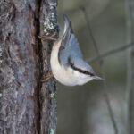 Herralankoskessa talvehtii 52 telkkää – Pähkinänakkeli Tapanin lintulaskennan yllätyslaji Vesilahdessa
