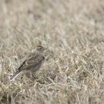 Lempäälässä kartoitetaan tehostetusti talvilintuja: loppiaiseen mennessä havaittu jo 77 eri lintulajia – kiurukin yrittää talvehtia Vanattarassa