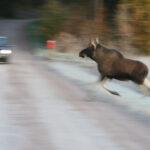Pidä nopeus kurissa ja keskity ajamiseen: Peurat, kauriit ja hirvet liikekannalla